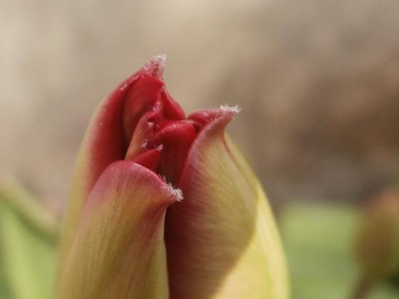 Tulip still not opening up.....