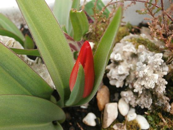A miniature tulip
