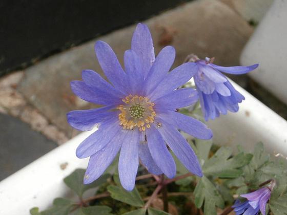 A tiny pale blue flower