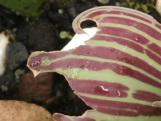 A tulip leaf which has been eaten by bugs