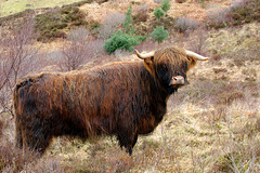 """Another """"Muckle Coo"""""""