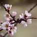 20140304 0472VRAw [TR] Blüten, Kappadokien