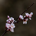 20140304 0471VRAw [TR] Blüten, Kappadokien