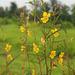 20090920-0787 Chamaecrista mimosoides (L.) Greene