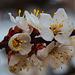 20140304 0450VRAw [TR] Blüten, Mönchstal, Kappadokien