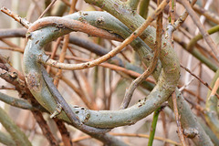Tied in Knots. Willow hedge.