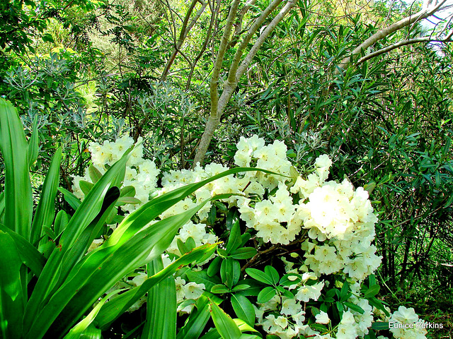 A lovely Azalea