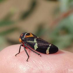 Eurymeloides pulchra Adult