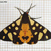 2058 Arctia villica britannica (Cream-spot Tiger)