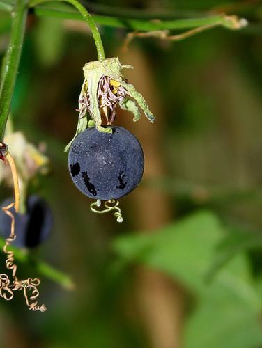Passiflora Sunburst