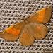 1924 Angerona prunaria ab. corylaria (Orange Moth)