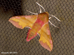1992 Deilephila porcellus (Small Elephant Hawkmoth)