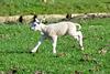 Lamb of Spring
