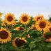 Sunflowers_1