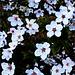 Erste Blüten am Strauch