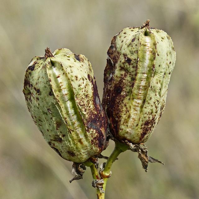 Yucca seedpods