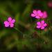 Maiden Pink - Dianthus Deltoides