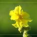 Divizna velkokvětá - Verbascum densiflorum