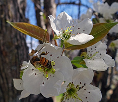 Pear blossom and Honey Bee