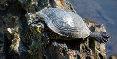 20140320 1070VRAw [D-E] Schildkröte, Schloss Borbeck-