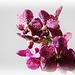 Orchids 51