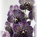 Orchids 52