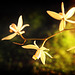 Orchids 53