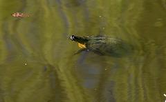 20140320 1033VRAw [D-E] Schildkröte, Schloss Borbeck-