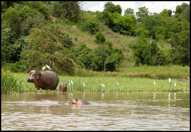 The family hippo!
