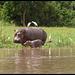 BABY HIPPO!