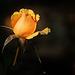 Yellow Rose Bud 1