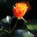 A Rose for Kerri... :-)