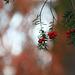 Yew-tree Berries