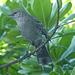Northern Mockingbird - 1 February 2014