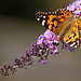 Patio Life: Painted Lady