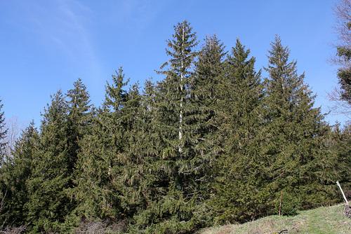Picea abies - côté ouest