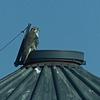 Prairie Falcon on a silo