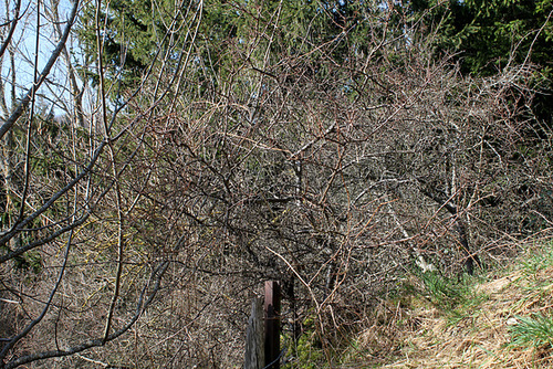 Prunelliers (2)