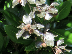 Leaves looking silvery in sunlight