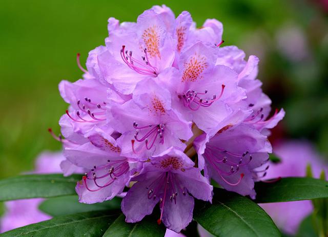 Macro sur un rhododendron