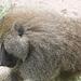 Impressionnant babouin mâle