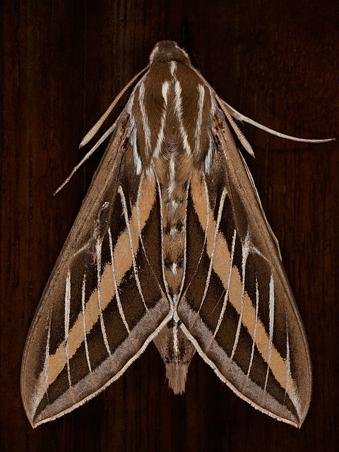 H is for Huge Hawk Moth (Hyles Lineata)