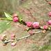 Flowering almond --