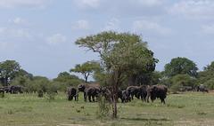 Eléphants tanzaniens