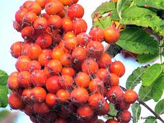 Cobweb on berries.