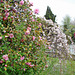 Camellias and blossom