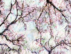 Spring--Cherry Blossom Time