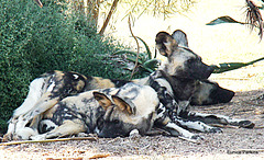 African wild dogs resting in shade