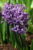 Delft Blue Hyacinths