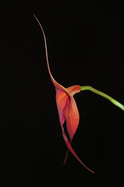 Masdevallia veitchiana